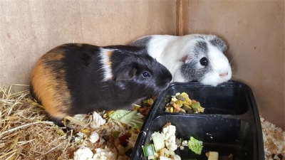 Guinea Pigs eating lunch